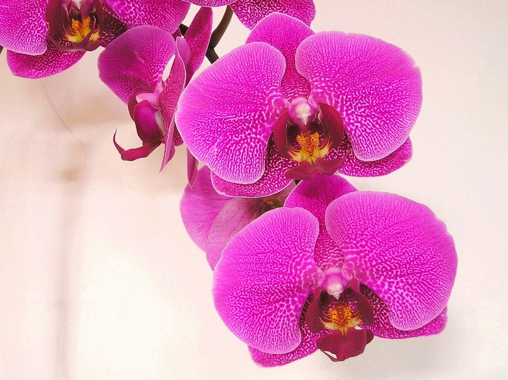 Orchidee-Duft
